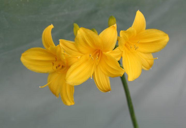 På amurdagliljen, Hemerocallis middendorffii, er både blomsterknopper, blomster og rotknoller spiselige