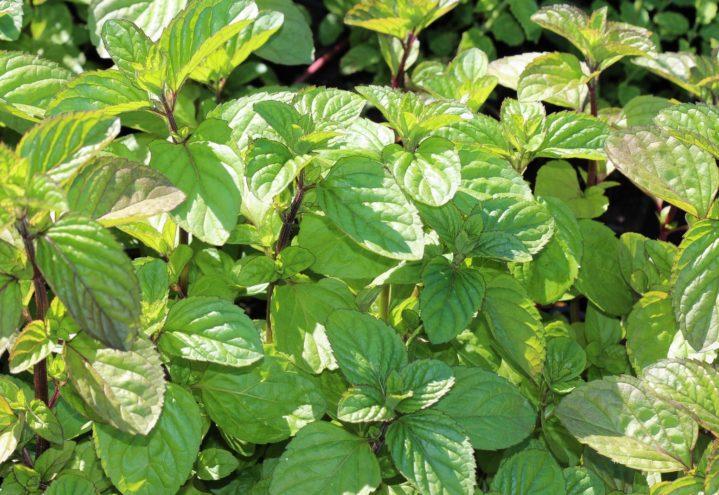 Mynte har spiselige blader, Mentha x piperita 'Orange'