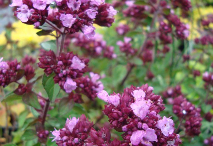 Origanum 'Rosenkuppel' er spiselig