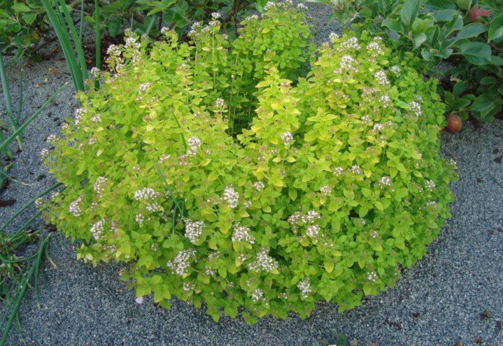 Origanum vulgare 'Aureum' er spiselig