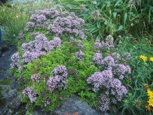 Origanum vulgare 'Compactum' har spiselige blomster og blader