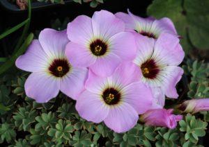 Blader og blomster av klippegjøkesyre er spiselige Oxalis enneaphylla 'Dark Eye'