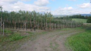 Planteskole, produksjon av store trær