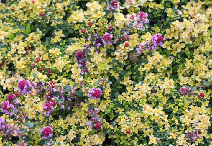 Sitrontimian Thymus 'Doone Valley' har spiselige blader