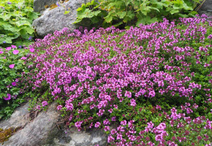 Sitrontimian, Thymus, har spiselige blader