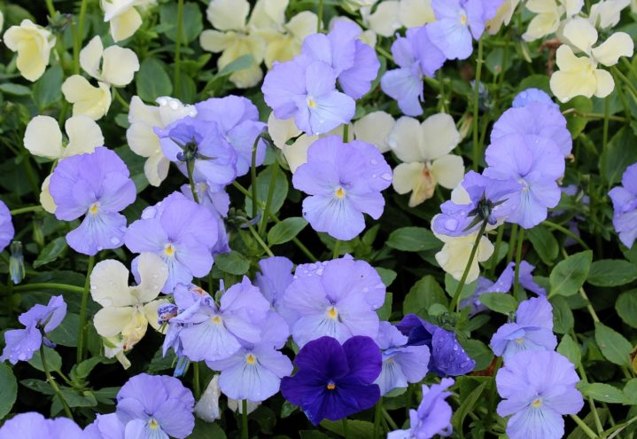 Viola hybrider kan spises