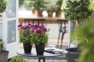 Engelske pelargonia på bordet er koselig hele året