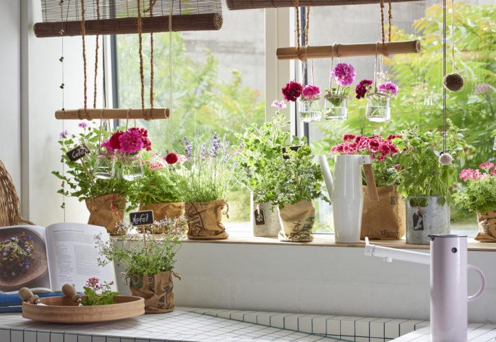 Duftpelargonia på kjøkkenet