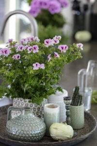 Sommerfrisk vinterstid; ta med en engelsk pelargonia hjem!