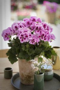 Engelsk pelargonia til innendørs glede