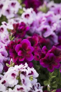 Sorter av engelsk pelargonium
