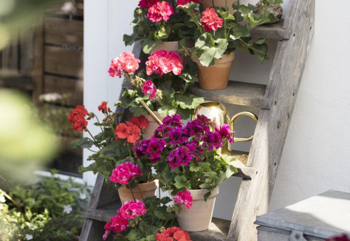 Sorter av pelargonia samlet i plantetrapp