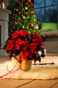 Julestjerne er julegave