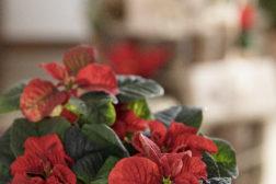 Julestjerne 2019, fargerikt julehjem 8