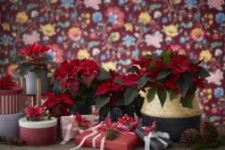 Julestjerne 2019, vidunderlig, blomstrende jul 25