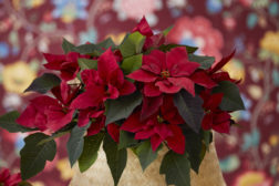 Julestjerne 2019, vidunderlig, blomstrende jul 26