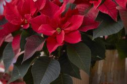 Julestjerne 2019, vidunderlig, blomstrende jul 30