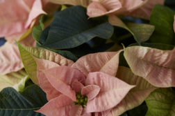 Julestjerne 2019, vidunderlig, blomstrende jul 39