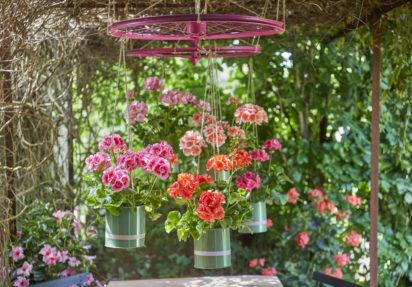 Pelargonia i hjem og hage – fortryllende vakkert!