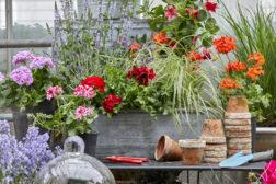 Pelargonia: Den perfekte blomst for nybegynnere